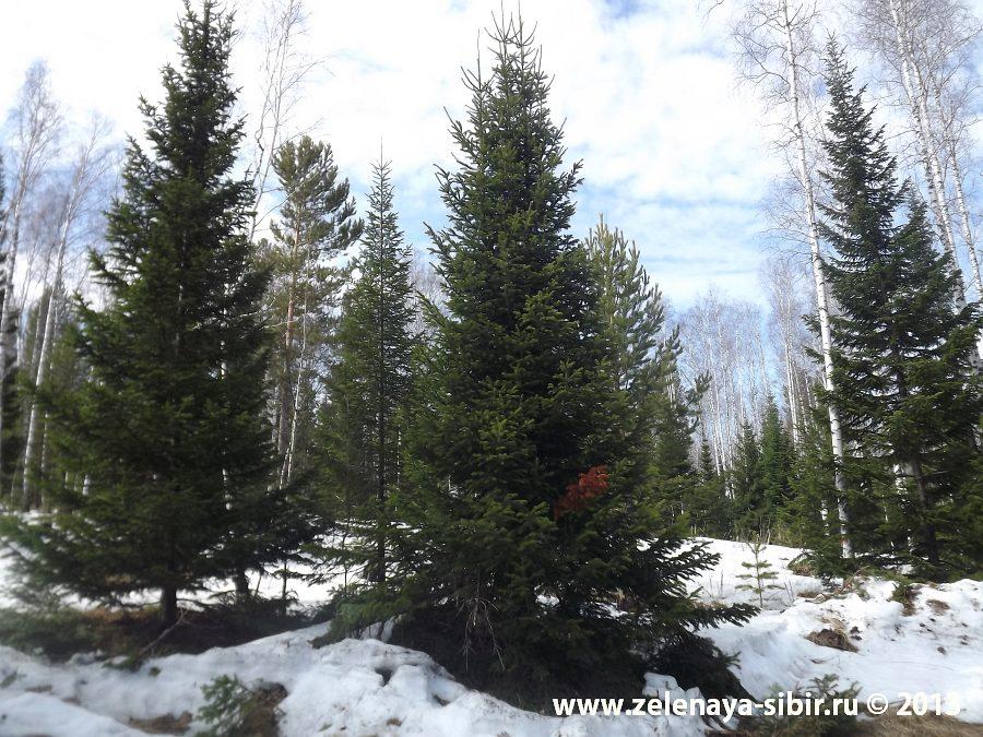 Зимняя посадка крупномерных деревьев, Красноярск