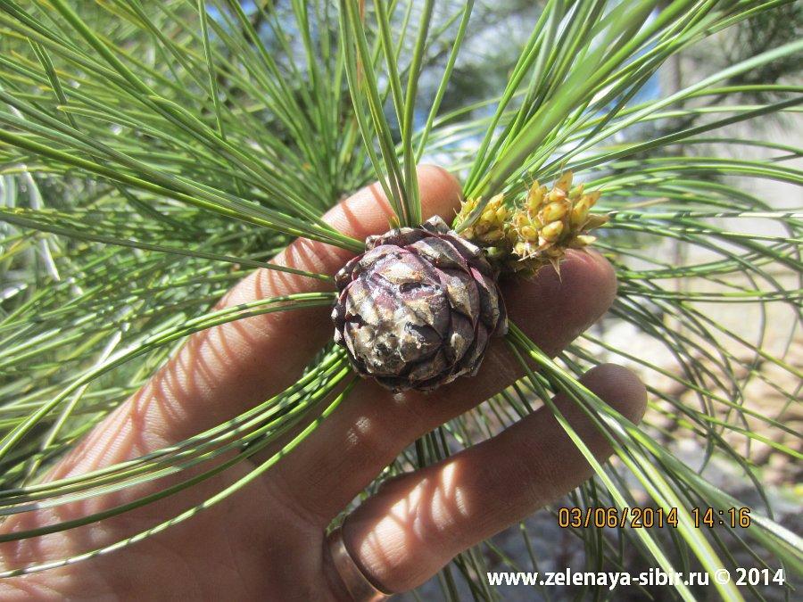 Посадки деревьев в 2011 г. в микрорайоне Чистый, новые шишечки уже через три года