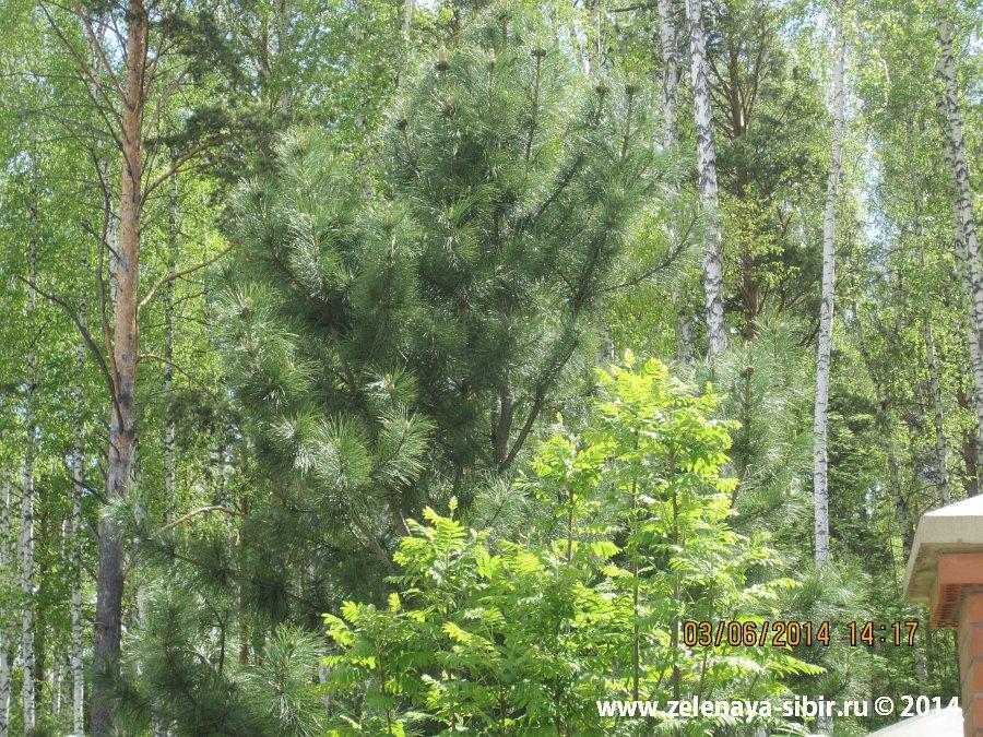 Посадки деревьев в 2011 г. в микрорайоне Чистый