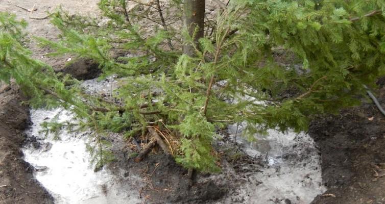 Посадка и полив хвойных крупномерных деревьев в Красноярске