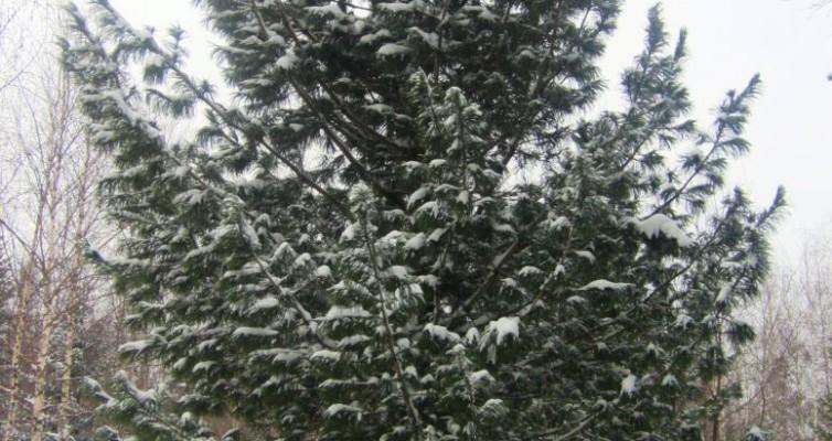 Зимние кедры 10-14 метров на заказ