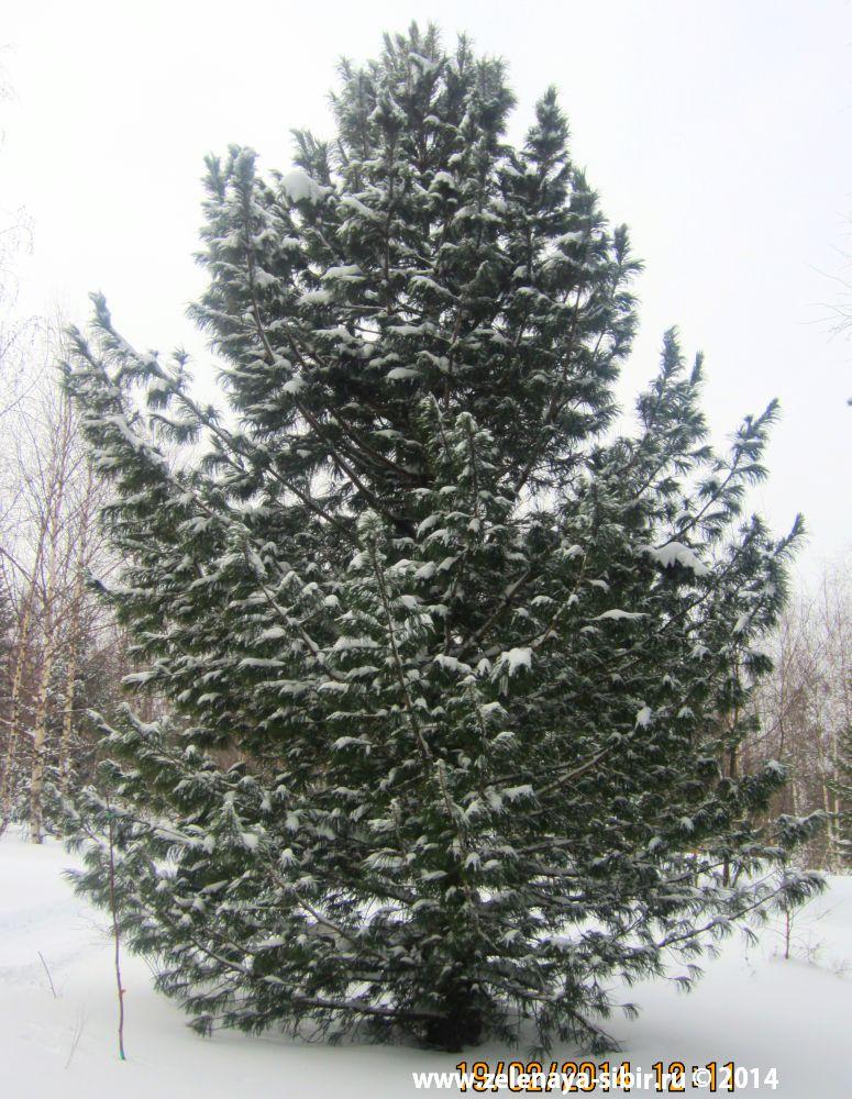 высокий кедр на заказ в Красноярске, зимой 2014 года