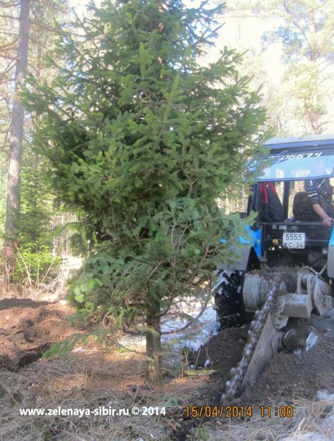 Заготовка крупномерных хвойных деревьев в Красноярске