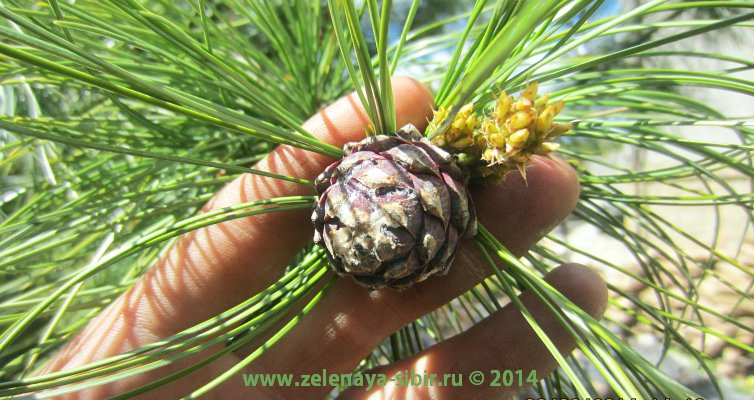 Результат посадок деревьев 2011 года в коттедже микрорайона Чистый на сегодня