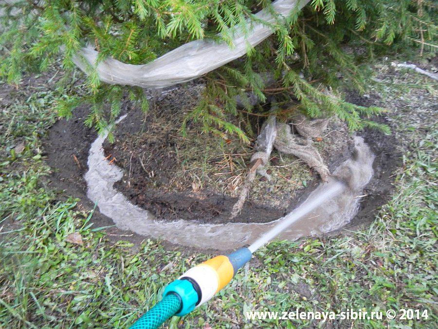 Посадка елочек в Красноярске компанией Зеленая Сибирь, полив дерева
