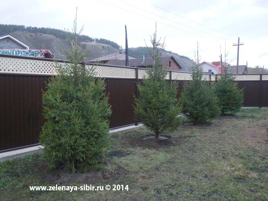 Конечный результат посадки елочек в Красноярске компанией Зеленая Сибирь