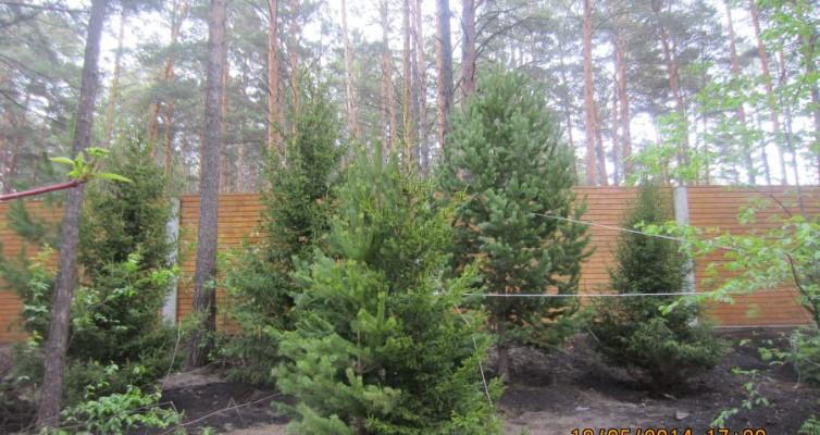 Посадка хвойных крупномерных деревьев в микрорайоне Удачном