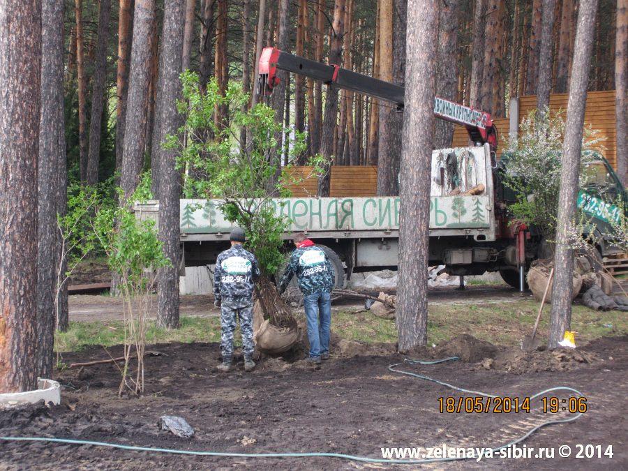 Посадка деревьев в микрорайоне Удачном